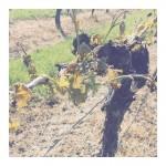 Le gel a fait ses ravages ici aussi vineyard frosthellip